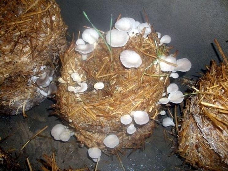 Ballette predisposte per la coltivazione di determinate specie di funghi