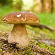 kit coltivazione funghi porcini