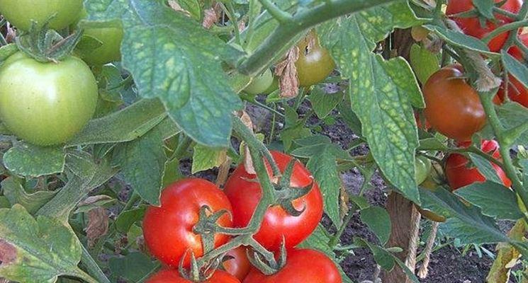 Pomodoro coltivato nell'orto