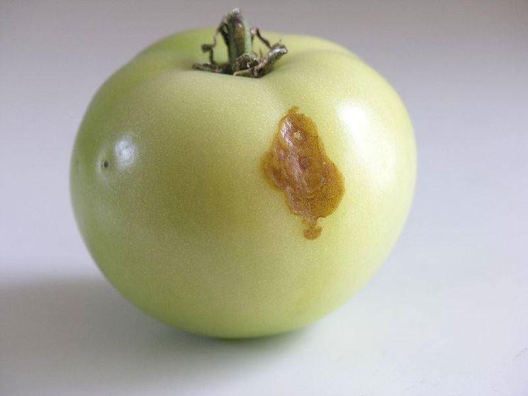 Pomodoro affetto da una malattia
