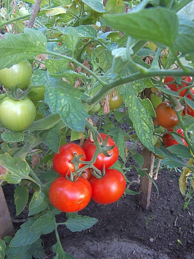 Come coltivare pomodori orto coltivare orto consigli for Piantare pomodori