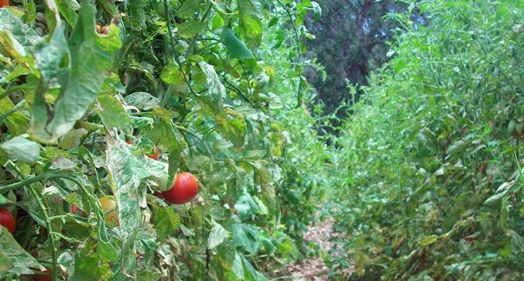 Pacciamatura piante pomodori foglie