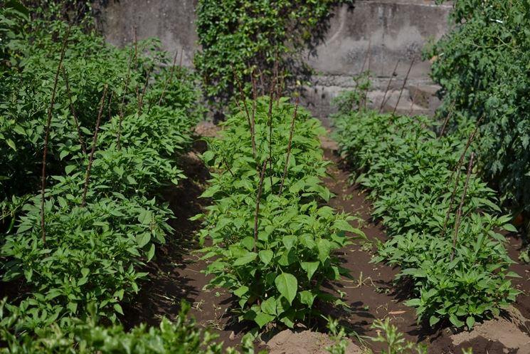 Le piante di peperoncino richiedono un'esposizione in pieno sole