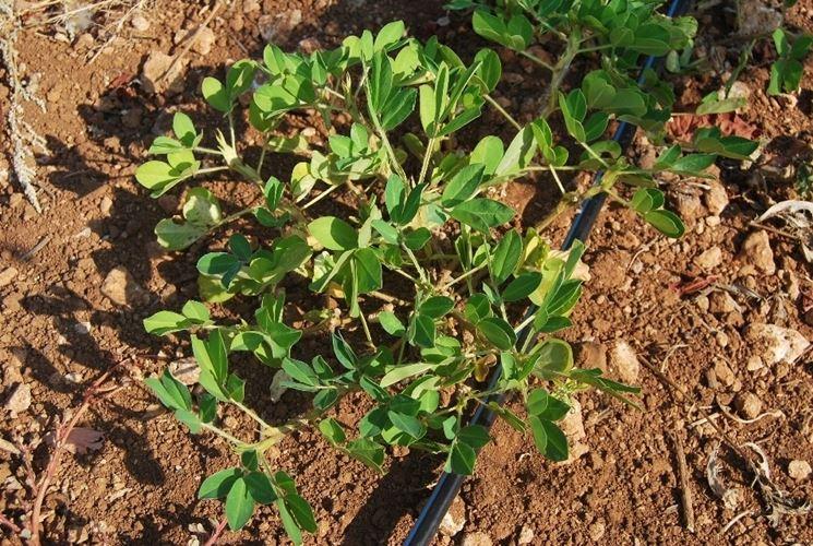 Coltivazione della pianta di arachidi