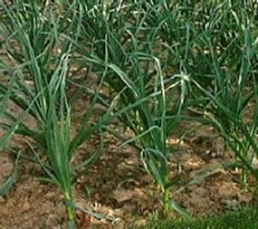 aglio piantagione