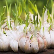 Spicchi aglio germogliati