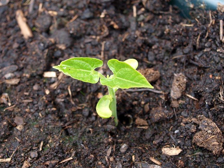 Fagiolo pianta