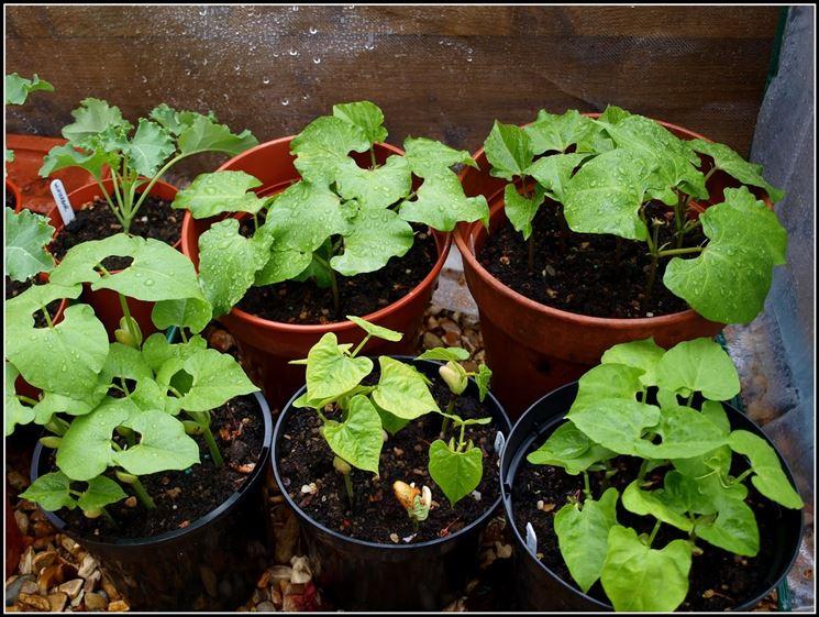 Semina fagioli coltivare orto coltivare fagioli for Vasi per semina