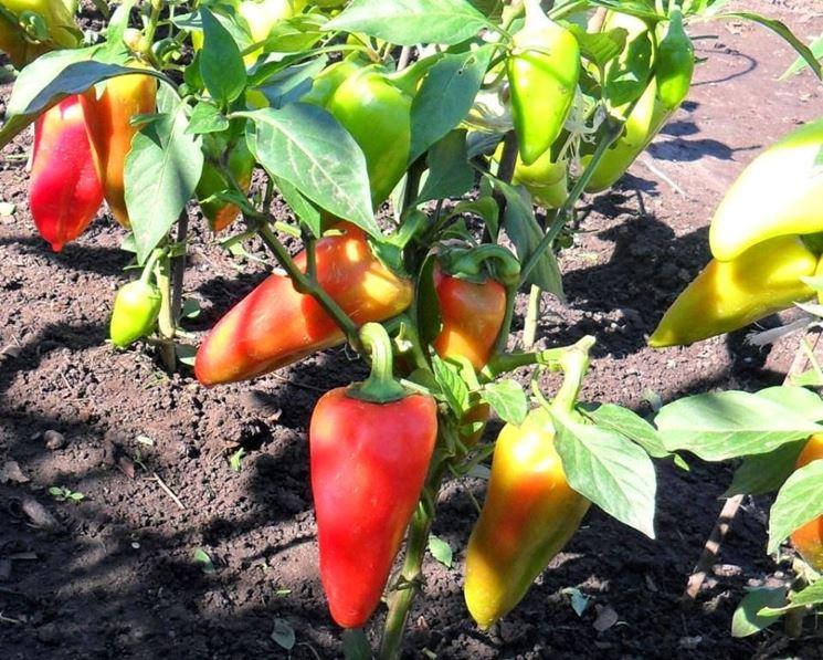 Peperone semina
