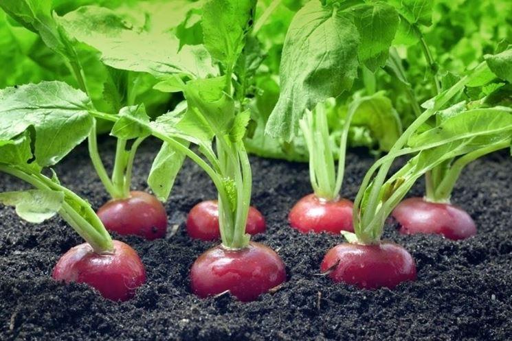 Ravanelli coltivazione