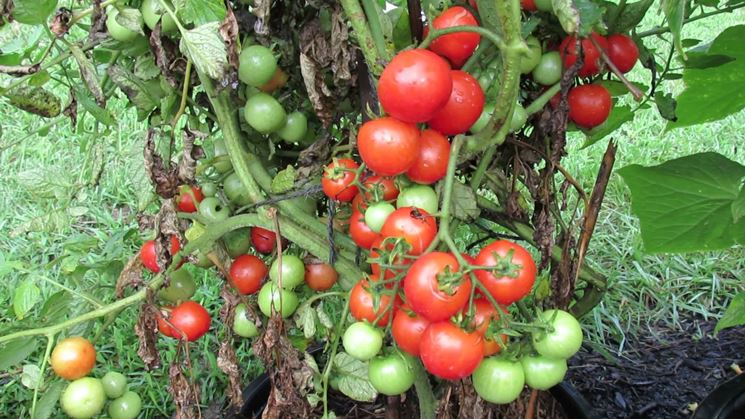 Seminare pomodori coltivare orto semina pomodoro for Piantare pomodori