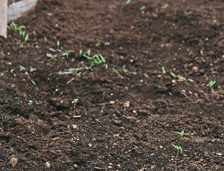 Terreno semina pomodori