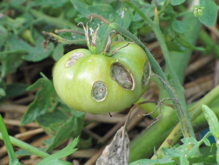 Pomodoro affetto da marciume apicale