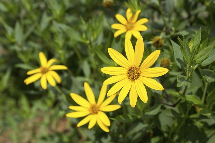 Il fiore del topinambur
