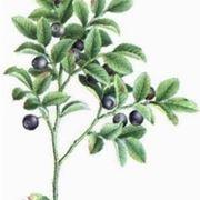 mirtillo pianta