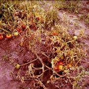 marciume del colletto pomodoro