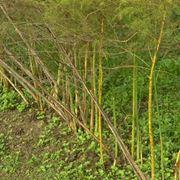 pianta di asparagi