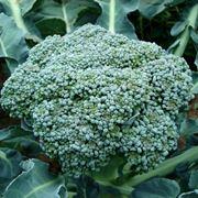 broccolo calabrese
