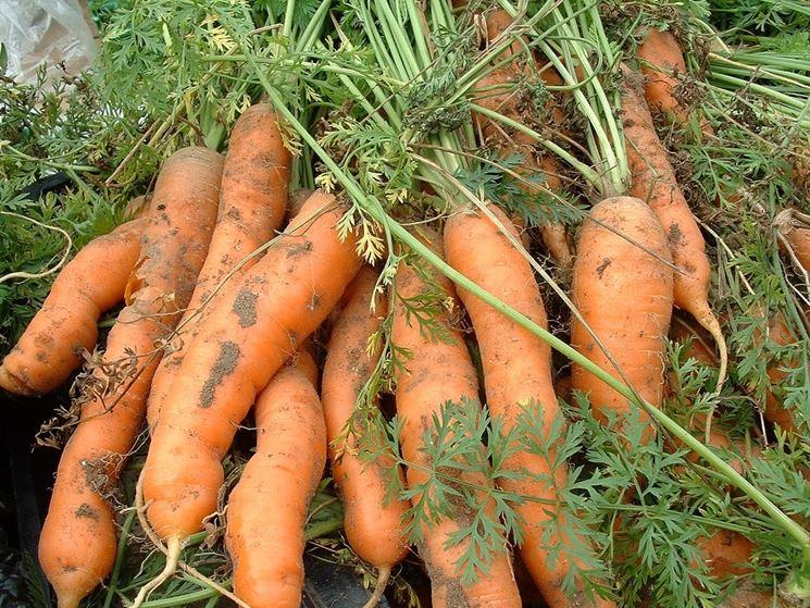 carote ammalate