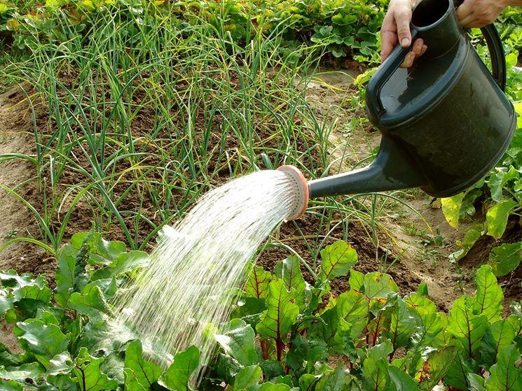Cime rapa irrigazione