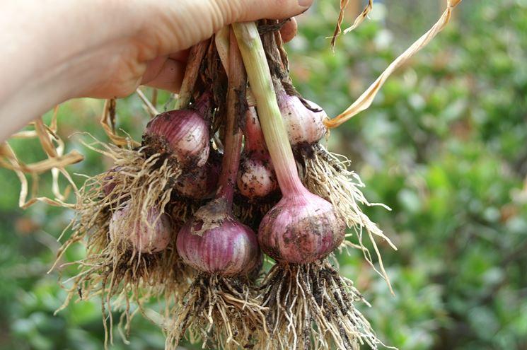 raccolta aglio