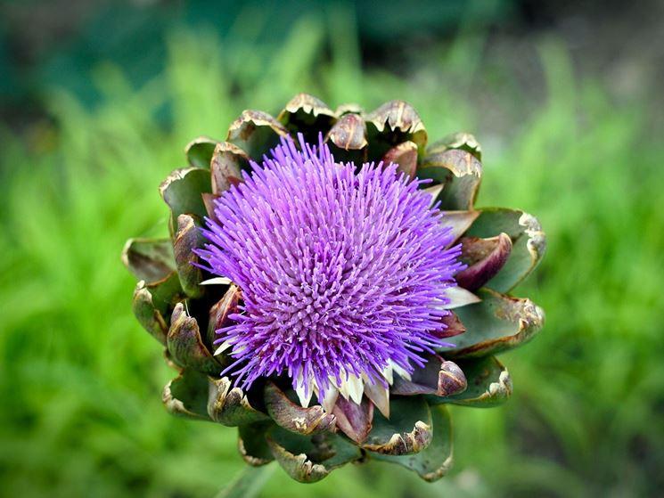 bellissimo fiore di carciofo