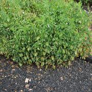 Coltivazione di lenticchie
