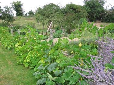 Rigogliose piante di zucchine