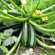 pianta di zucchine