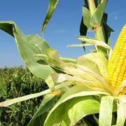 Coltivazione granoturco