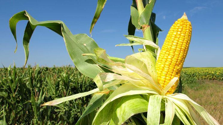 Granoturco ortaggi coltivare granoturco - Quando seminare erba giardino ...