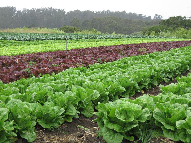 coltivazione di lattuga