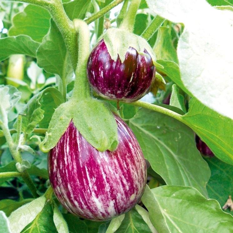 pianta di melanzana rosa