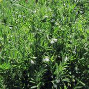 pianta delle lenticchie