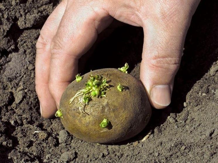 patata appena raccolta