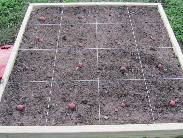 patate coltivate in giardino