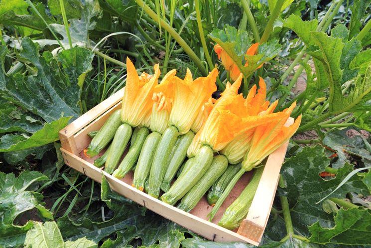 Zucchine con fiori commestibili