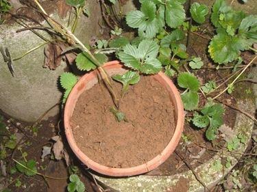 piante di fragole terreno