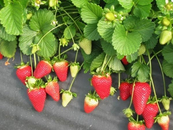 Piante di fragole ortaggi fragole piante for Fragole in vaso