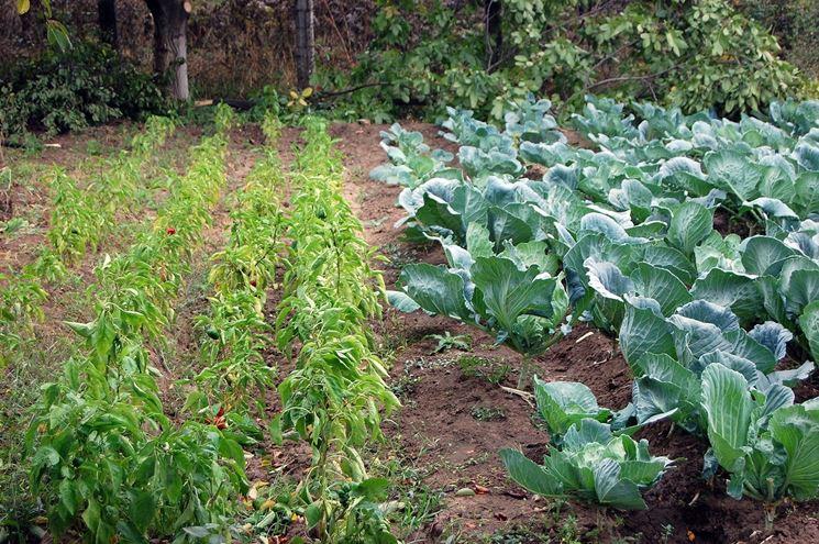 piante per orto ortaggi come scegliere le piante per orto