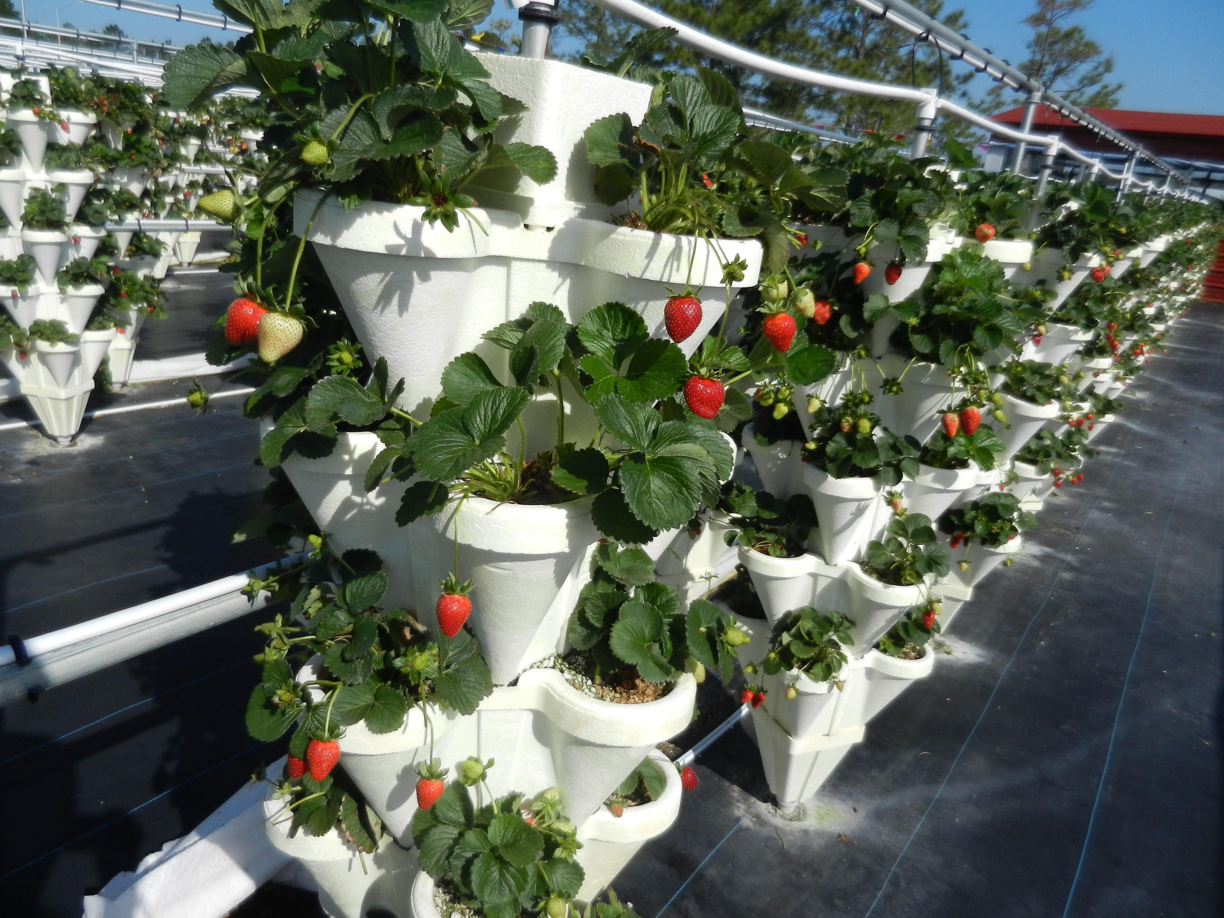 Piantine da orto ortaggi come scegliere le piantine da for Vasi per fragole