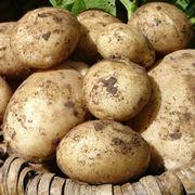 piantare patate