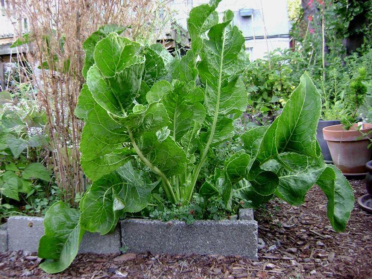 Orto con pianta di rafano