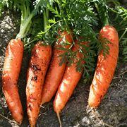semina carote
