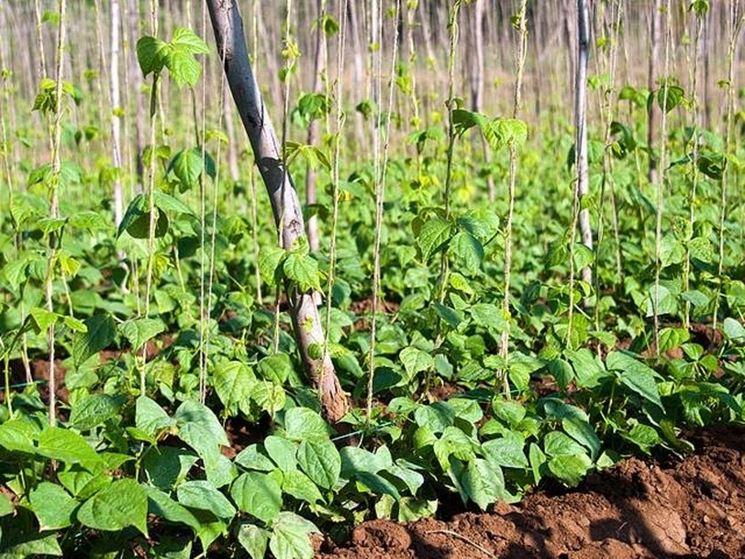 Dettaglio coltivazione fagiolini