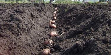 Come seminare le patate