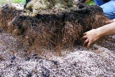 Trapiantare piante a radice nuda