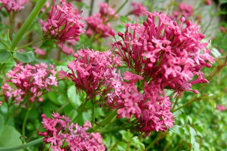 Valeriana fiori