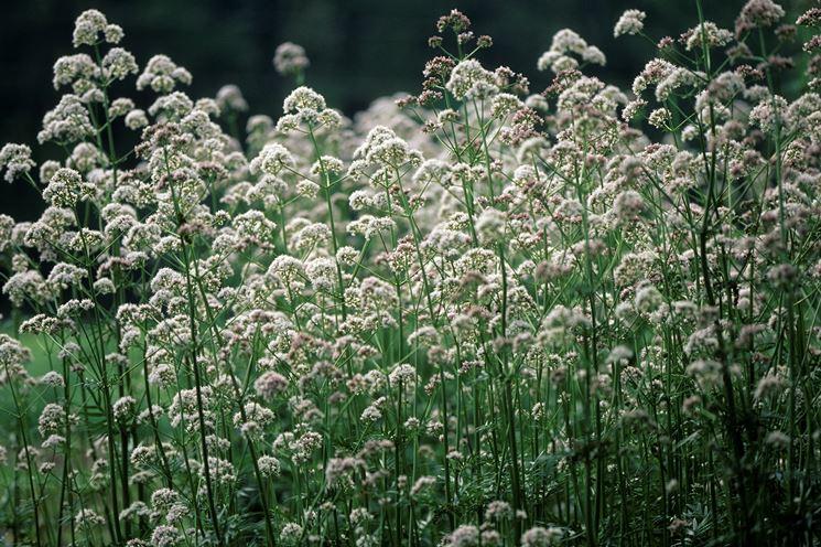 Valeriana bianca