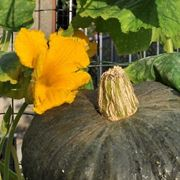 Come <strong>coltivare la zucca</strong> verde